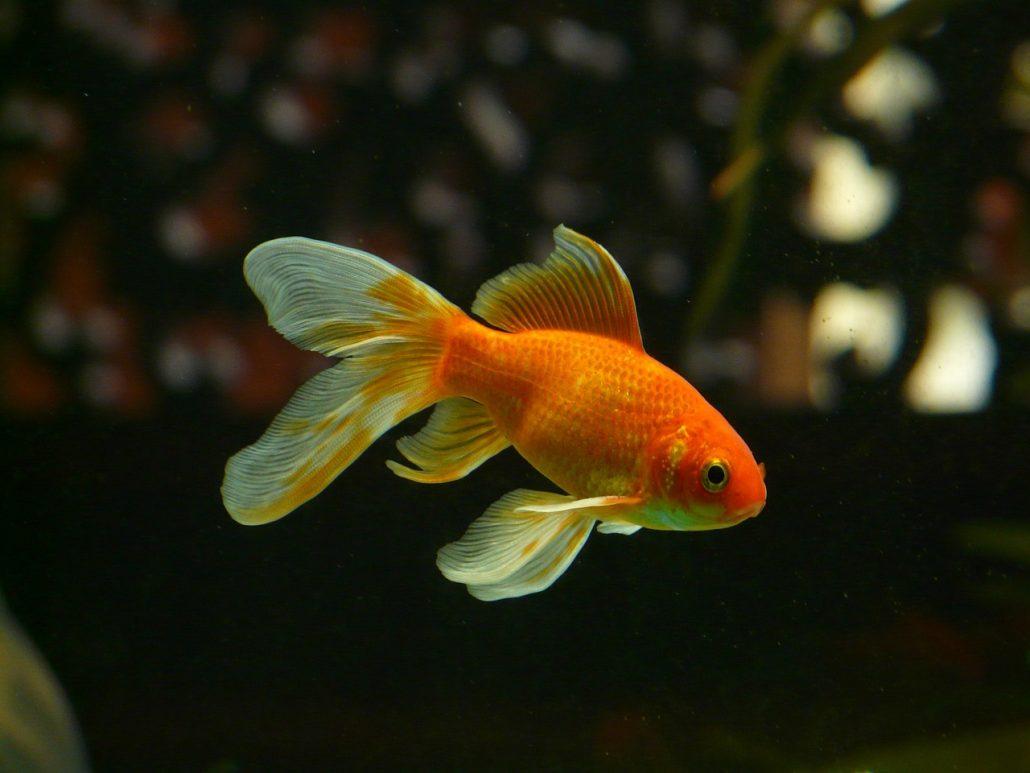 Die Aufmerksamkeitsspanne eines Goldfisches liegt angeblich bei 9 Sekunden